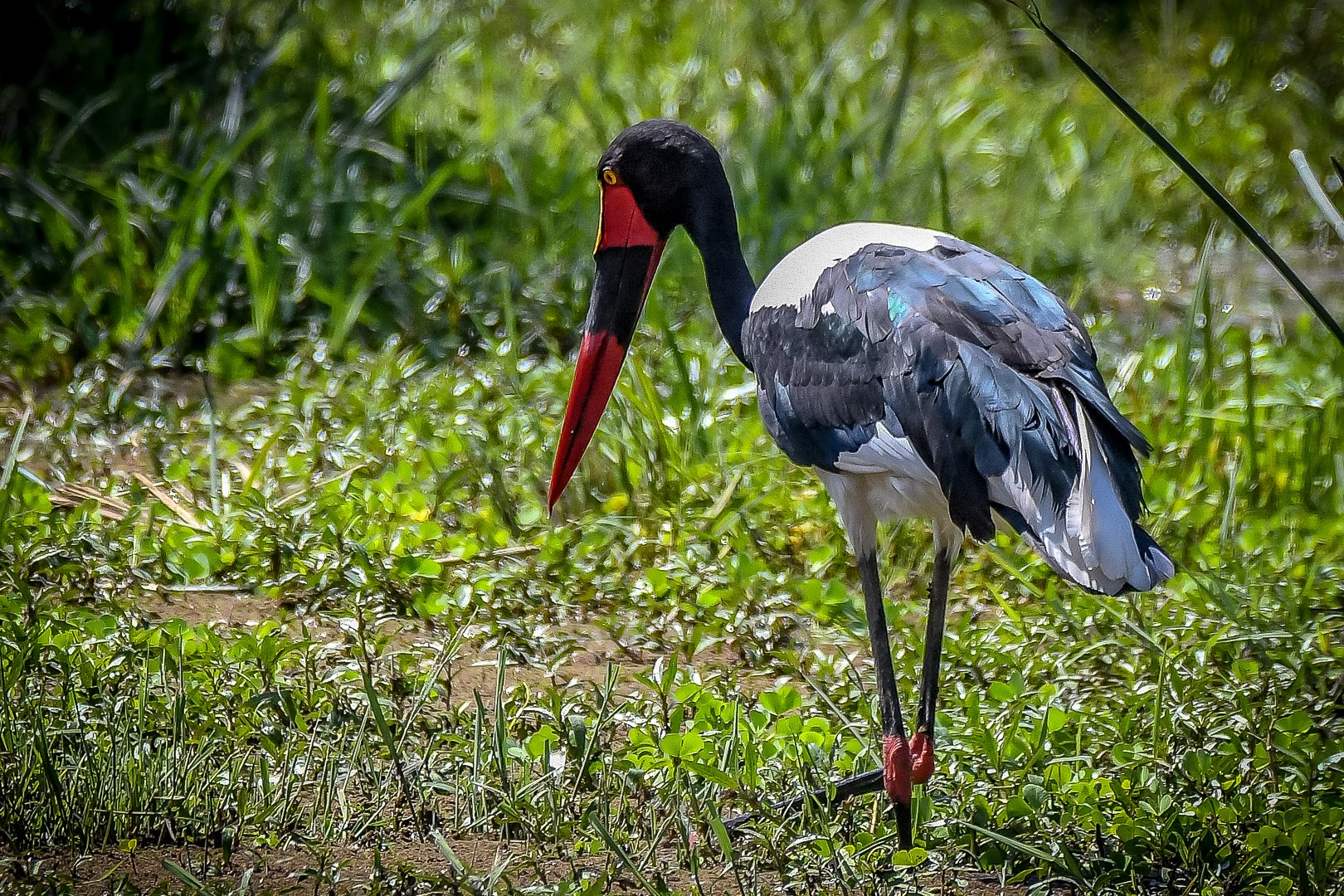 Saddle-billed stork (Sadelnäbbsstork)