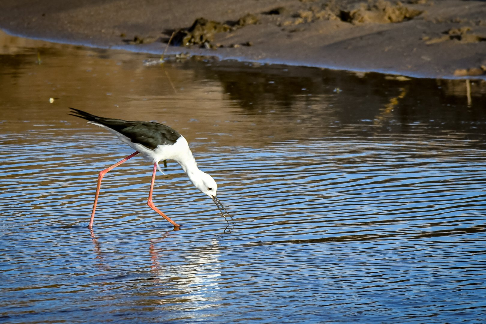 Black Winged Stilt (Styltlöpare)