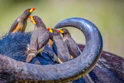 Yellow-billed oxpecker (Oxhackare)