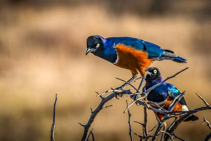Superb Starling (Brunbukig Glansstare)