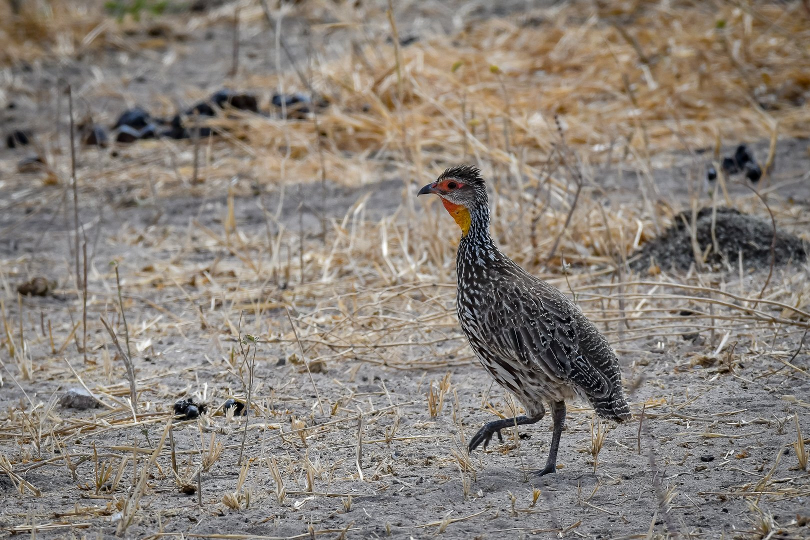 Yellow fronted Spurfowl (Sporrhöna)