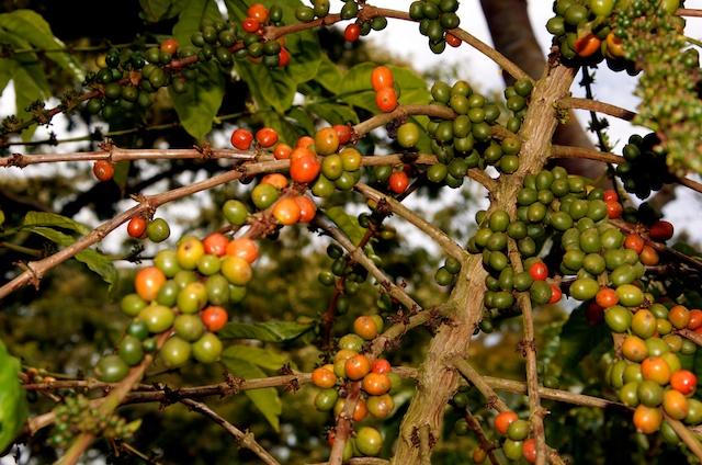 odla kaffebönor i sverige